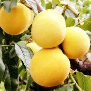 炎陵黄桃好吃吗,哪个品种的黄桃好吃