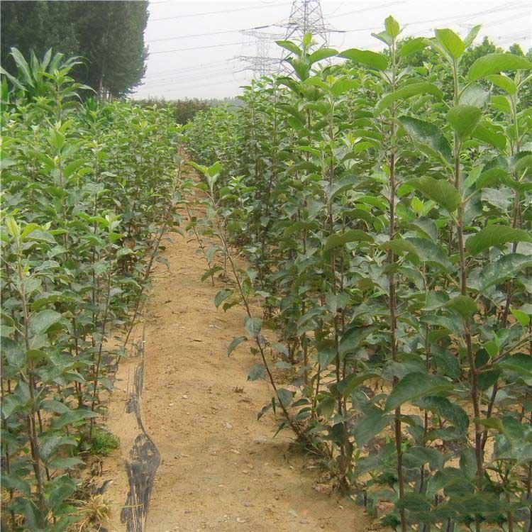 炎陵黄桃树苗图片