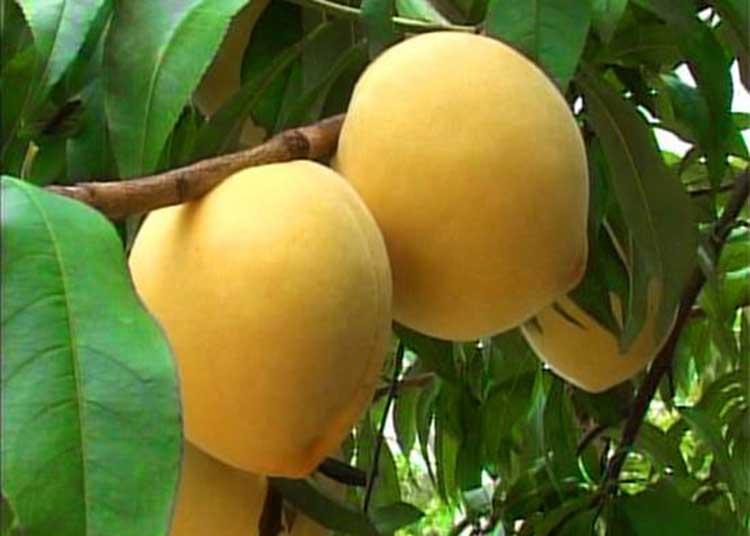 炎陵黄桃图片