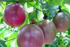 百香果是罗汉果吗,罗汉果和百香果的区别