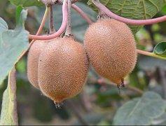 野生猕猴桃,野生猕猴桃多少钱一斤