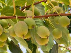 软枣猕猴桃营养价值,软枣猕猴桃种植技术