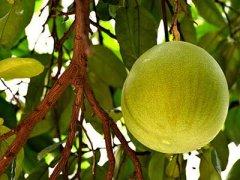 孕妇吃柚子有什么好处,柚子不能和什么一起吃