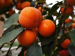 感冒可以吃柿子吗,咳嗽可以吃柿子吗