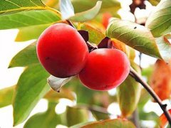 猕猴桃和柿子能一起吃吗,柿子能和苹果一起吃吗