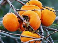 柿子和香蕉能一起吃吗,柿子和橘子能一起吃吗