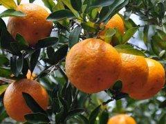 橘子什么时候成熟,橘子什么时候上市