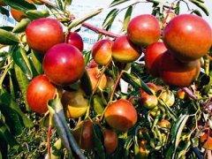 空腹吃冬枣会怎么样,冬枣属于凉性食物吗