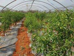 冬枣树苗多少钱一棵,冬枣树苗价格