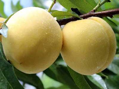炎陵黄桃什么时候成熟