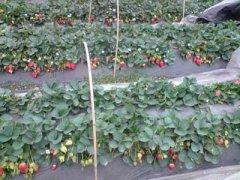 草莓批发价格,草莓批发多少钱一斤