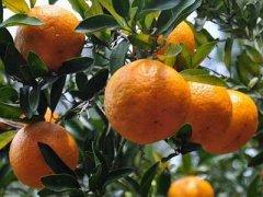 橘子的功效与作用,橘子的禁忌