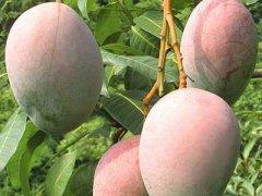 批发芒果哪里便宜,芒果批发多少钱一斤