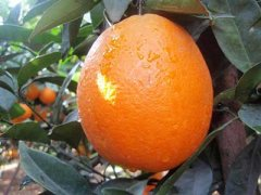 2017橙子批发价,橙子批发多少钱一斤
