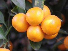 金桔蜜饯的功效与作用,金桔蜜饯的做法和保存