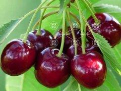 车厘子是什么季节的水果,车厘子什么季节吃最好