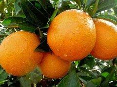 脐橙的种类及产地有哪些,中国哪里的脐橙最好吃