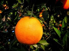 脐橙的功效与作用,脐橙的食用禁忌