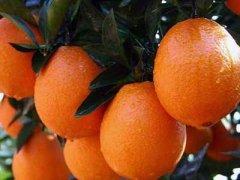新宁脐橙多少钱一斤,湖南新宁脐橙几月上市