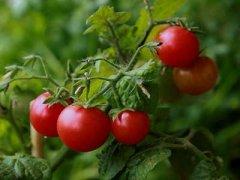 圣女果和西红柿的区别,圣女果和小番茄的区别
