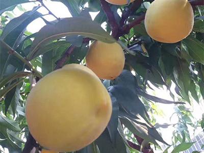 炎陵黄桃哪里的最好吃 炎陵黄桃哪里的最正宗